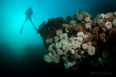 Diver over reef covered with sea anemones Royalty Free Stock Photography