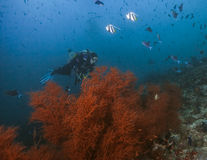 Diver Over Sea Plume Royalty Free Stock Photography