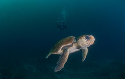 Diver photographing Hawksbill turtle underwater Royalty Free Stock Photos