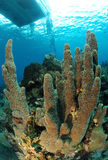 Diver and pillar coral Royalty Free Stock Photography