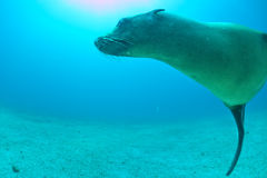Diver and Puppy sea lion underwater looking at you Royalty Free Stock Image