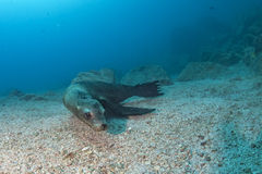 Diver and Puppy sea lion underwater looking at you Stock Images