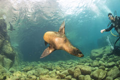 Diver and Puppy sea lion underwater looking at you Stock Photography