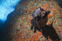Diver and Puppy sea lion underwater looking at you Royalty Free Stock Images
