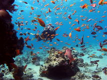 Diver with reef fish Royalty Free Stock Images