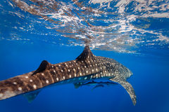Diver's close up view of whale shark  with two small fish underneath belly. Diver's close up view of Whale shark (Rhincodon typus) with two small fish underneath Stock Photography