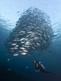 Diver with a school of Jacks Royalty Free Stock Photography