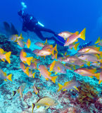 Diver and School of Snappers, Cuba Royalty Free Stock Images