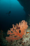 Diver, sea fan in Ambon, Maluku, Indonesia underwater photo Stock Photo