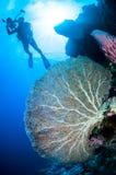 Diver and sea fan Annella mollis in Banda, Indonesia underwater photo Stock Photos