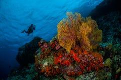 Diver, sea fan Subergorgia mollis in Banda, Indonesia underwater photo Stock Photos