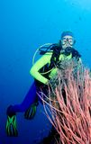 Diver and Sea Whips. A pretty female scuba diver with pink sea whips, fish, and blue water Stock Images