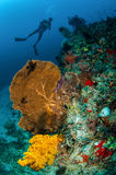 Diver and seafan in Gili, Lombok, Nusa Tenggara Barat, Indonesia underwater photo Royalty Free Stock Images