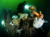 Diver on shipwreck with anemone growth Stock Image