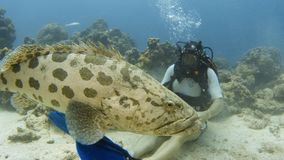Diver sits on the sea floor and plays with a cod. A medium shot of a scuba diver underwater. The diver sit on the ocean floor and gets playful with a huge potato stock video