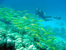 Diver with snapper. A scuba diver swims with a shoal of yellow snapper Royalty Free Stock Images