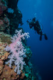 Diver and soft coral Dendronephthya in Derawan, Kalimantan, Indonesia underwater photo Stock Image
