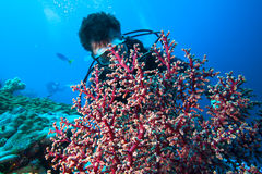 Diver and soft coral. Stock Image