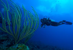 Diver and soft corals, Cayo Largo, Cuba Stock Images