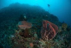 Diver, sponge in Ambon, Maluku, Indonesia underwater photo Stock Photos