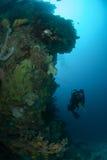 Diver, sponge, coral reef in Ambon, Maluku, Indonesia underwater photo Stock Photos