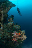 Diver, sponges, black sun coral in Ambon, Maluku, Indonesia underwater photo Royalty Free Stock Photos