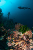 Diver, sponges, black sun coral in Ambon, Maluku, Indonesia underwater photo Royalty Free Stock Photo