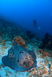 Diver with sting ray. On coral reef Royalty Free Stock Photos
