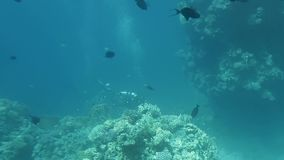 Diver swimming near the red sea bed. Anemone city with diver in the back ground red sea stock video