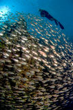 A diver swimming over a school of fish. A school of brightly colour fish swimming past a reef with a diver overhead Stock Photography