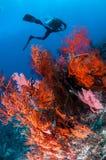 Diver swimming, Sea fan Anella mollis in Gili, Lombok, Nusa Tenggara Barat, Indonesia underwater photo Royalty Free Stock Image