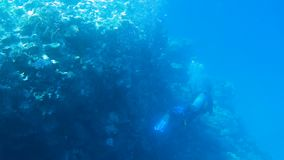 Diver swims near coral reef with fish in Red sea. Underwater shoot stock footage