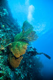 Diver take a photo video upon seafan kapoposang indonesia scuba diving. Underwater Stock Photo