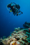 Diver taking picture crocodilefish in Derawan, Kalimantan, Indonesia underwater photo stock image