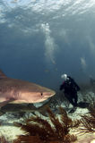 Diver and Tiger Shark. A diver photographing a tiger shark stock image