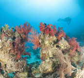 Diver on tropical coral reef Stock Photography