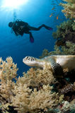 Diver and turtle along the reef, Red Sea, Egypt Stock Images