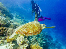 Diver and a turtle. At the corals stock images