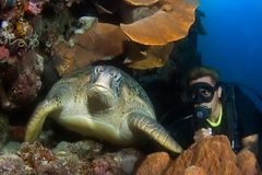 Diver and Turtle Indonesia Sulawesi. Diver with turtle in cave. Indonesia Sulawesi Lembehstreet Stock Photos