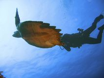 Diver and turtle underwater Stock Image