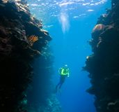 Diver Underwater. A female scuba diver swimming between underwater coral walls Stock Image
