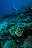 Diver and various coral reefs in Derawan, Kalimantan, Indonesia underwater photo Royalty Free Stock Images