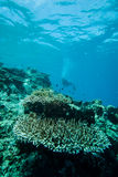 Diver and various hard coral reefs in Derawan, Kalimantan, Indonesia underwater photo Stock Photo