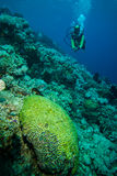 Diver and various hard coral reefs in Derawan, Kalimantan, Indonesia underwater photo Stock Photography