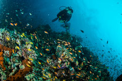 Diver and various reef fishes swim above coral reefs in Gili Lombok Nusa Tenggara Barat Indonesia underwater photo Stock Photos
