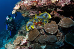Free Diver Watch Oriental Sweetlips, Maldives Royalty Free Stock Image - 26250146