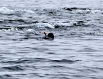 Diver in wet suit and in the mask floats on the surface Stock Photo