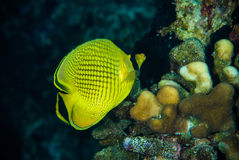 Diver yellow fish scuba diving bunaken indonesia sea reef ocean Royalty Free Stock Photography
