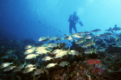 Diver and Yellow Tail Snapper Stock Images