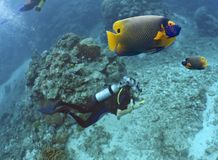 DiverPhoto. Diver photographing Yellow-faced Angelfish (Pomacanthus xanthometapon Stock Image